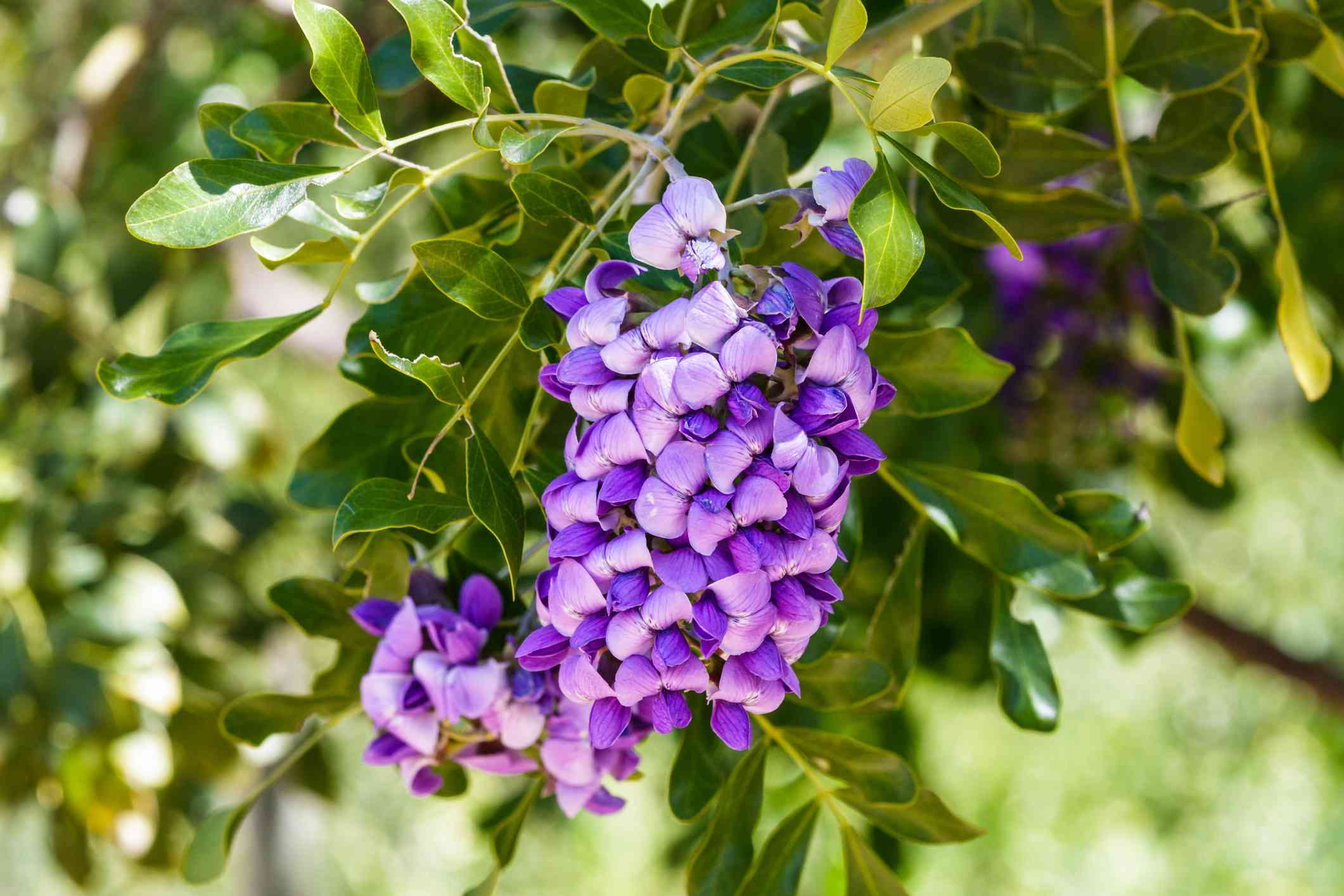 Texas Mountain Laurel (Dermatophyllum secundiflorum)