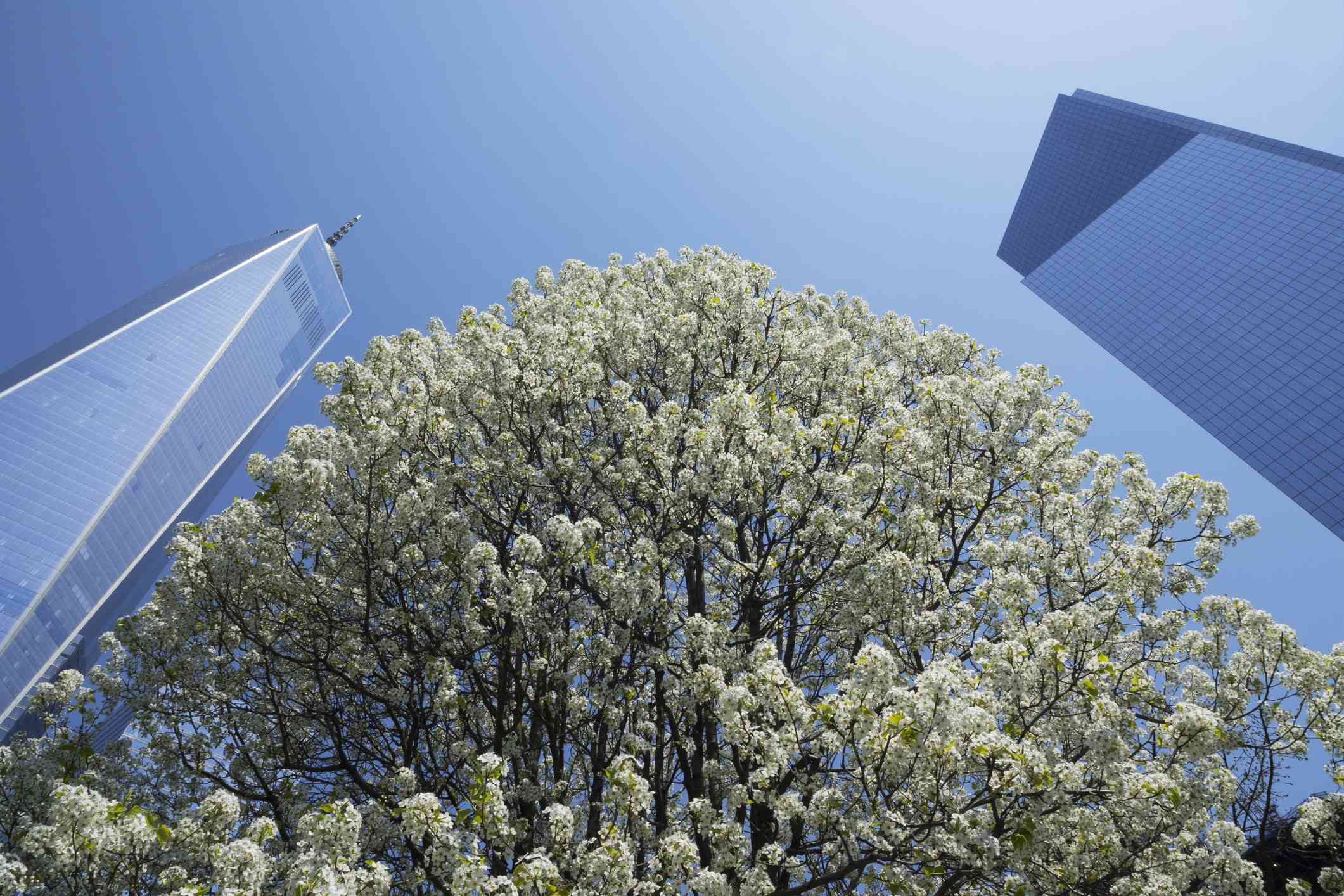 The Survivor Tree, a callery pear tree, at Ground Zero in New York