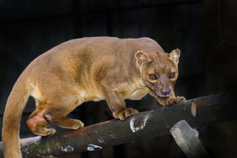 Conoce a los Euplerids, los extraños carnívoros de Madagascar