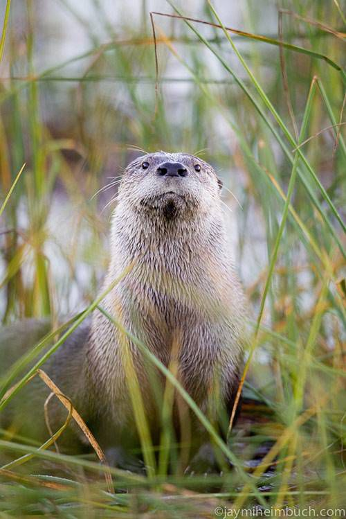 Otter standing in tall grass