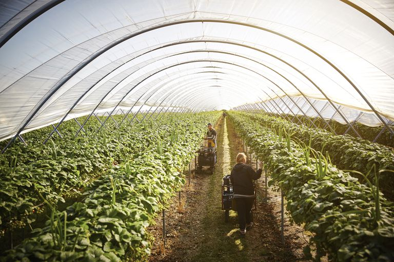 Workers harvesting strawberries inside a poly tunnel