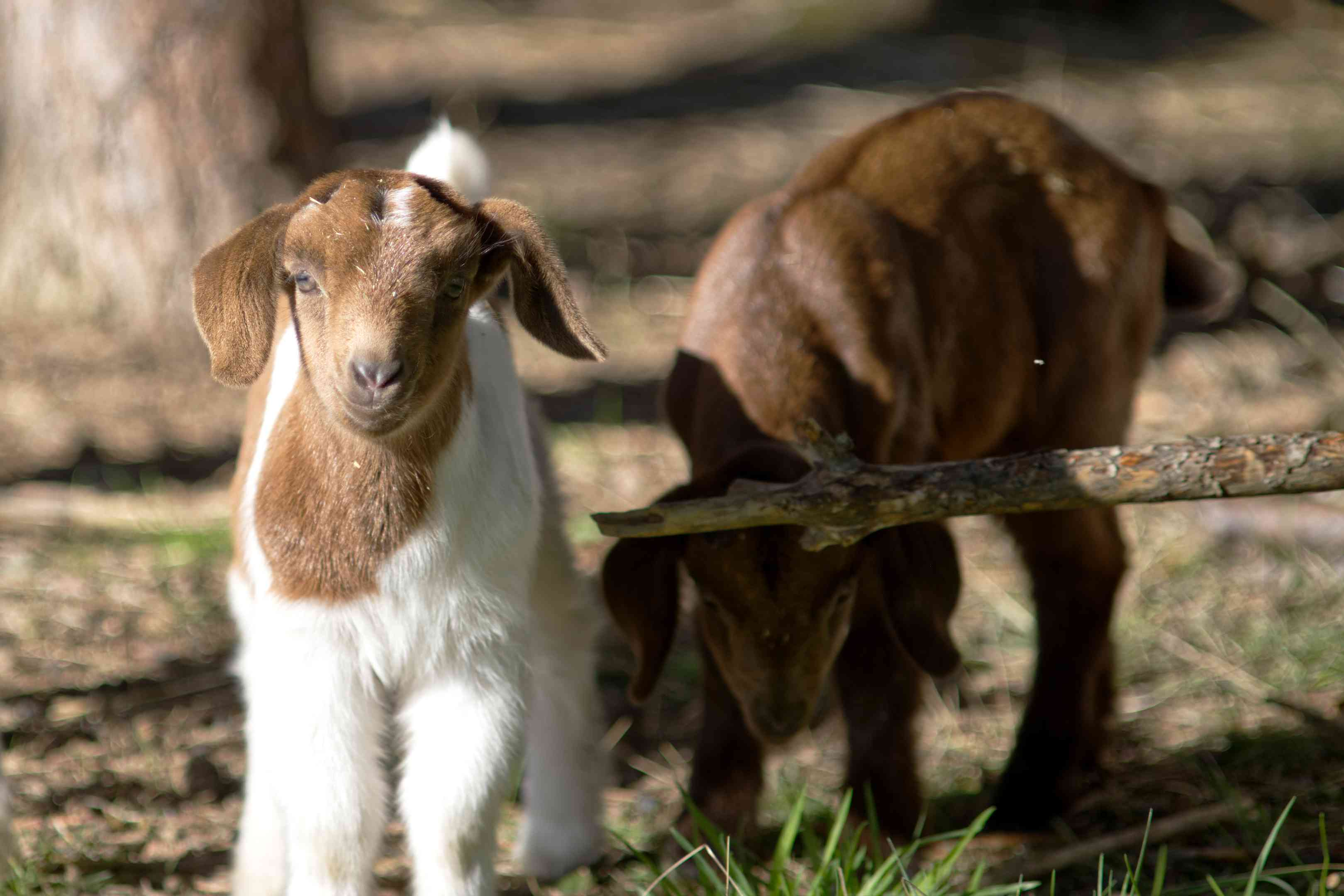 two baby goats outside in grass stare at camera