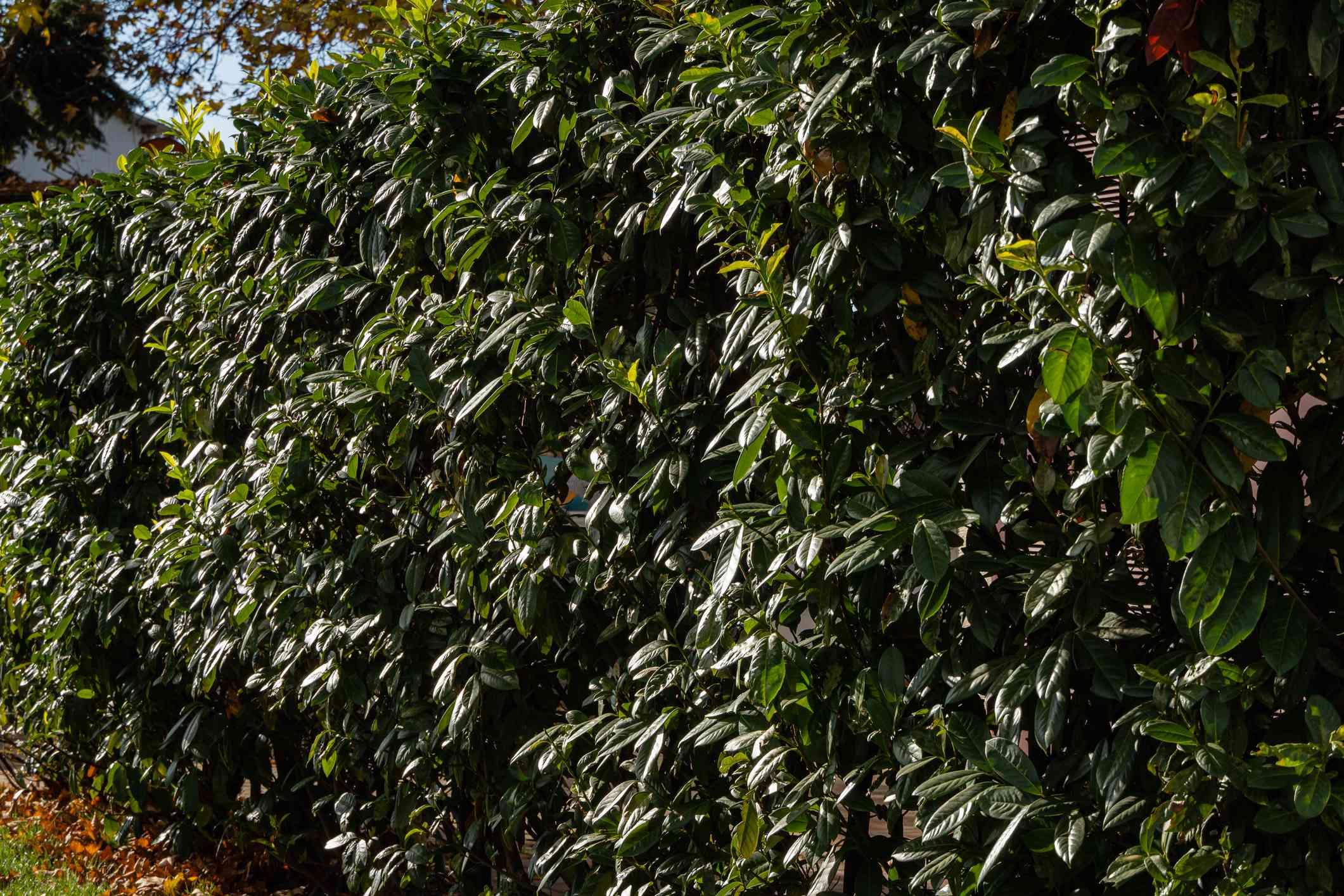 Cherry laurel shrub (Prunus laurocerasus)