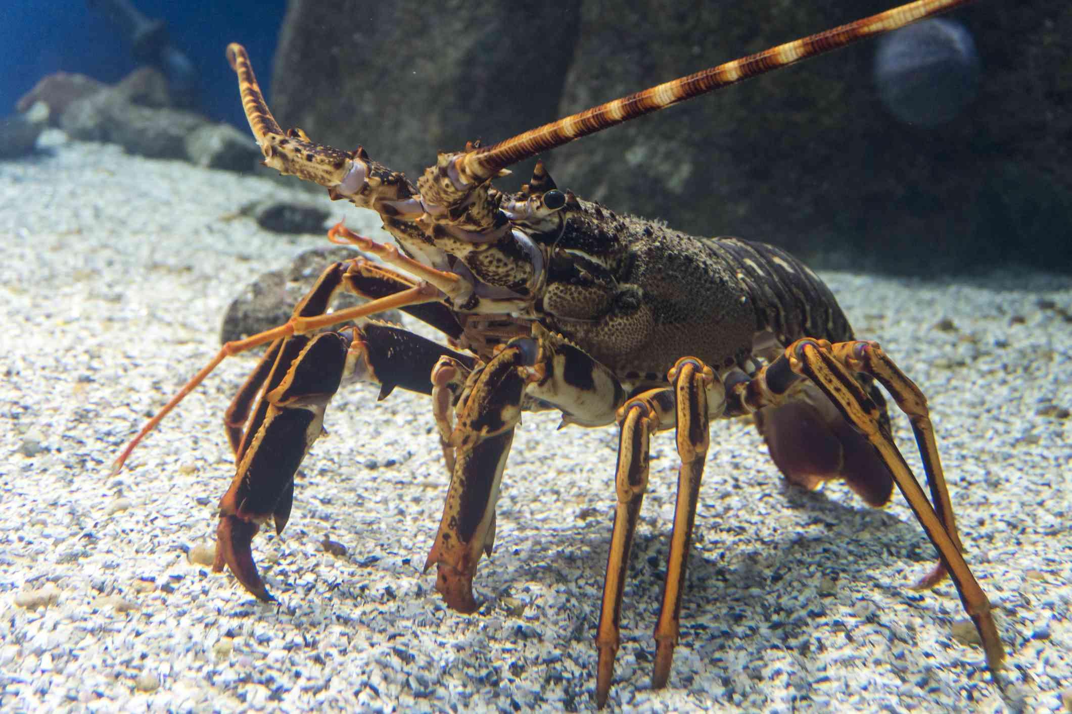 Lobster on the ocean floor
