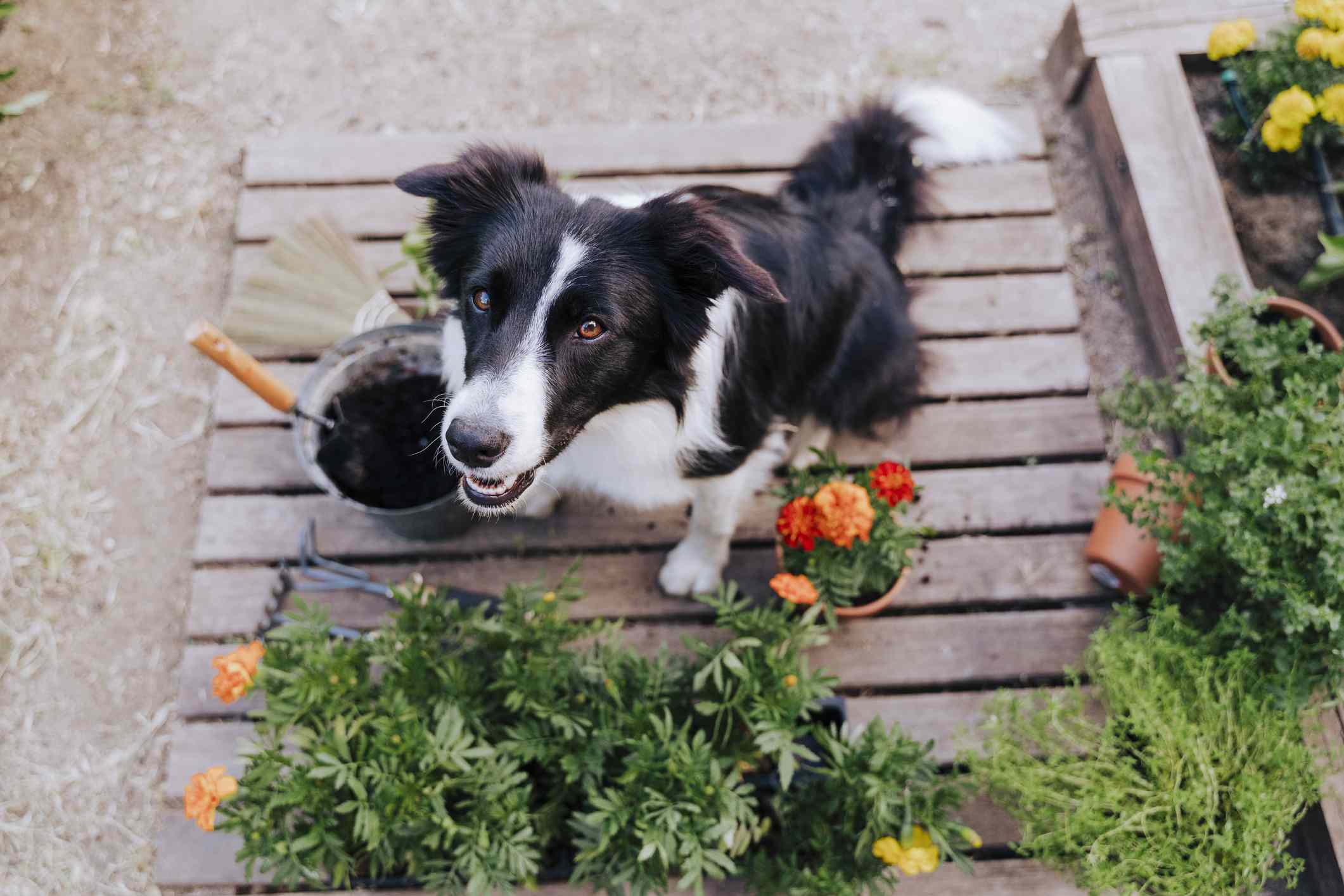 Border collie sitting by plants in a vegetable garden