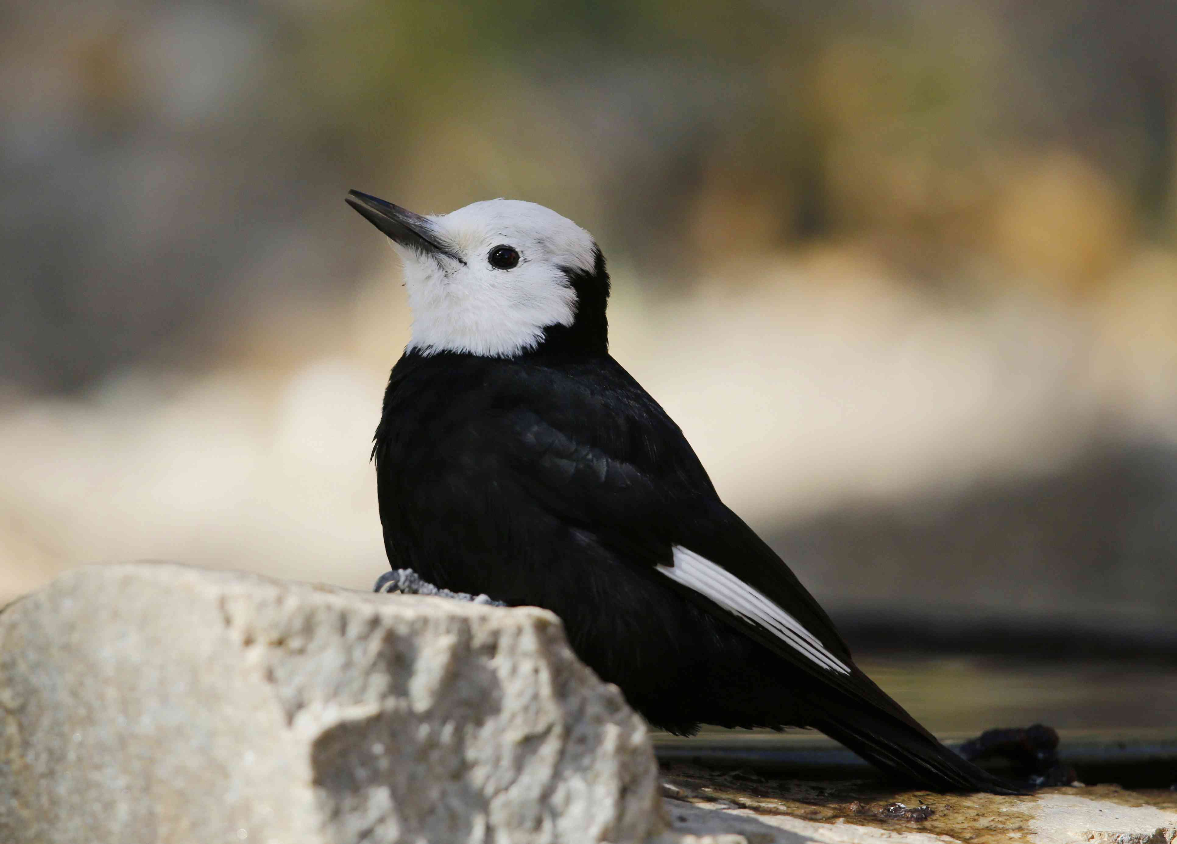 A white-headed woodpecker.