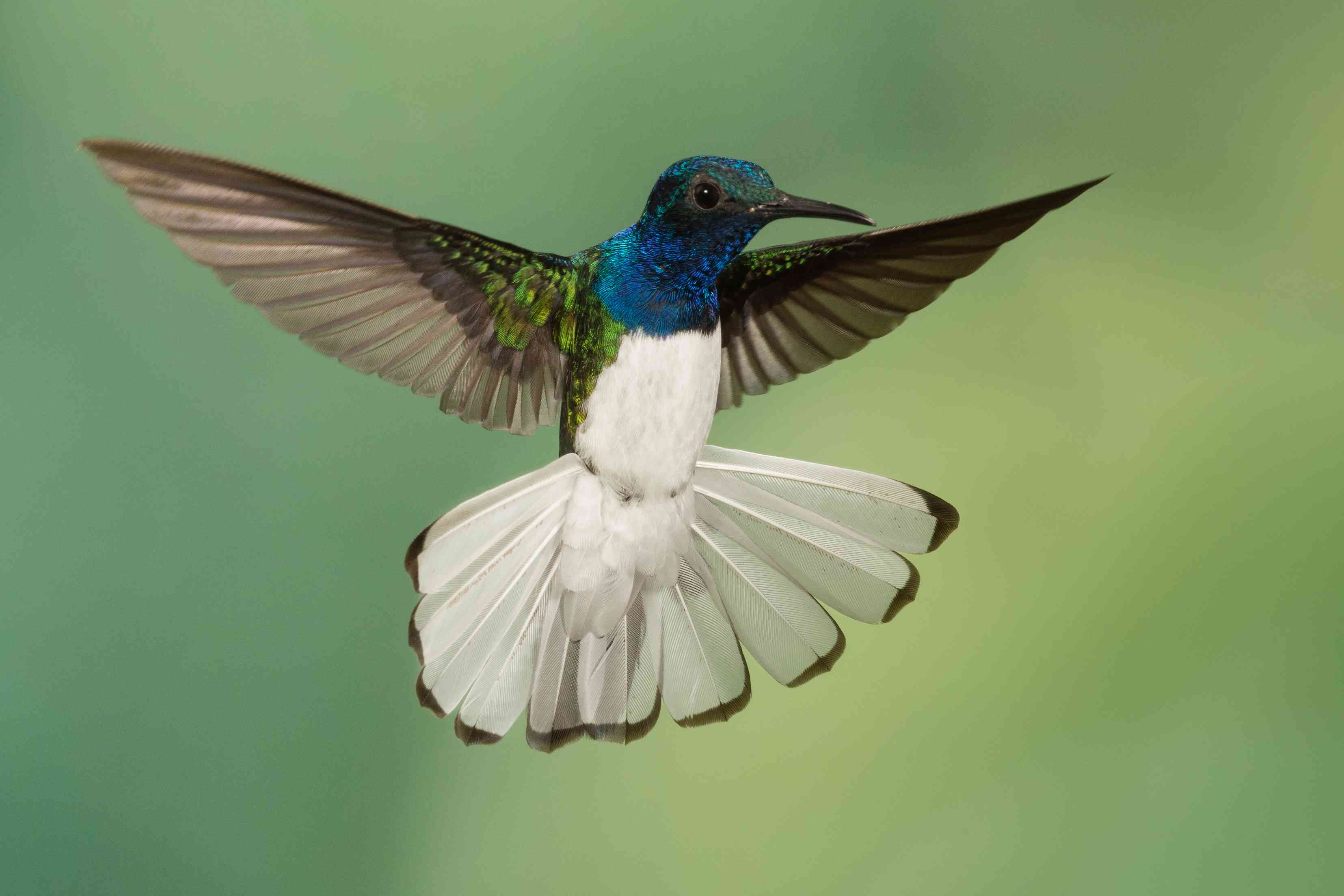 White-necked jacobin hummingbird flying with white tail extended