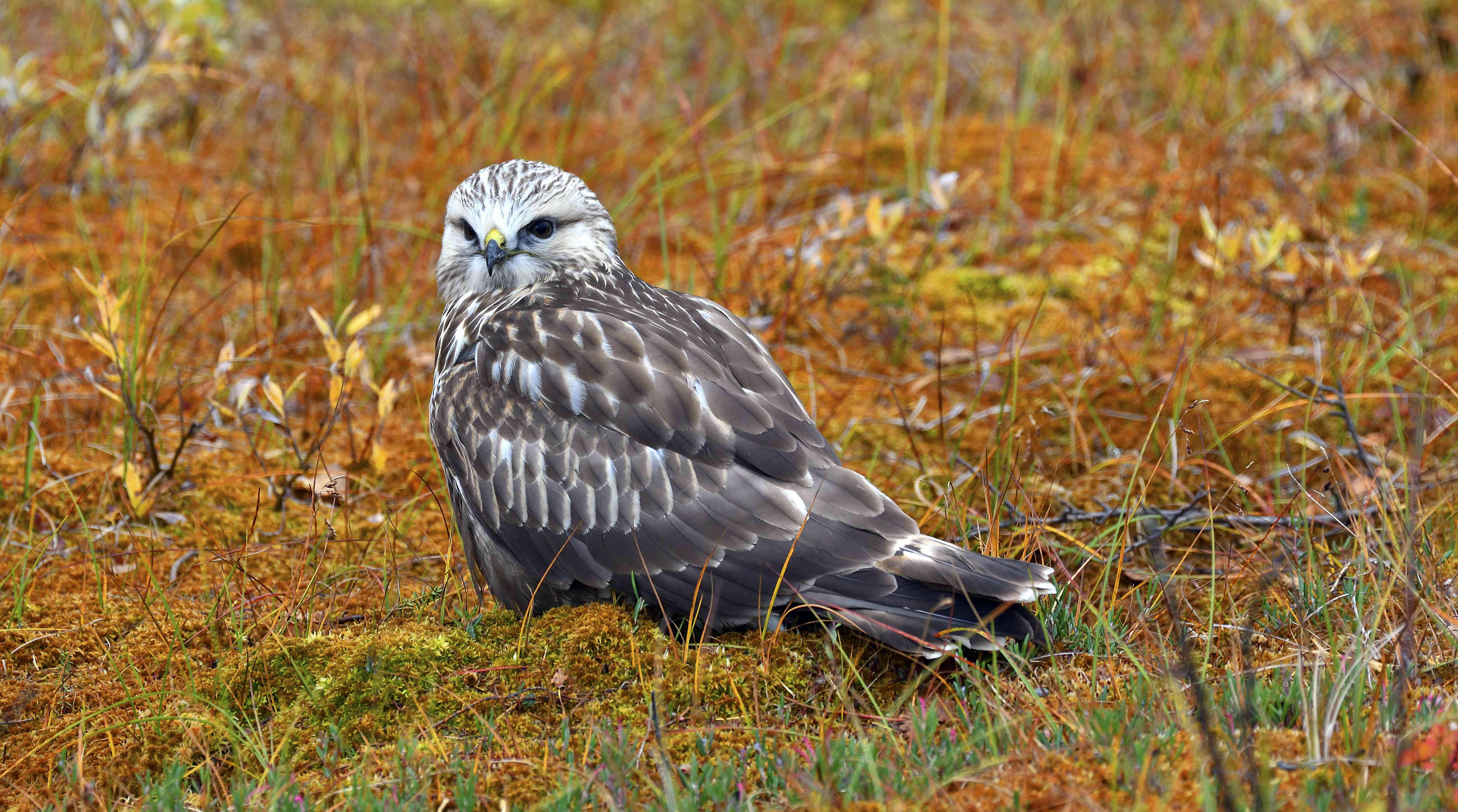 Rough-legged buzzard or hawk (Buteo lagopus), sitting, autumn coloured tundra, Northern Norway, Norway