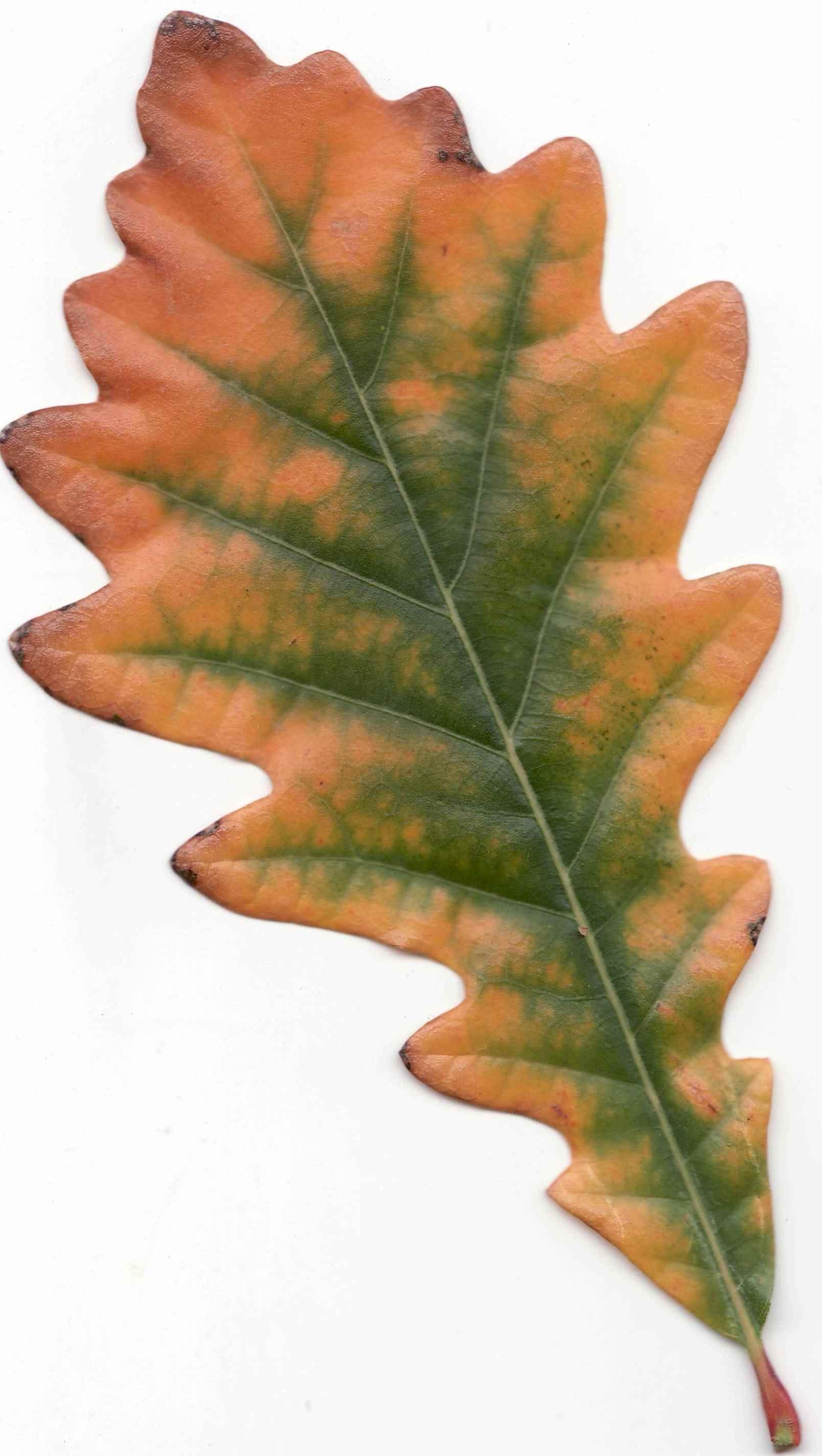 swamp white oak leaf