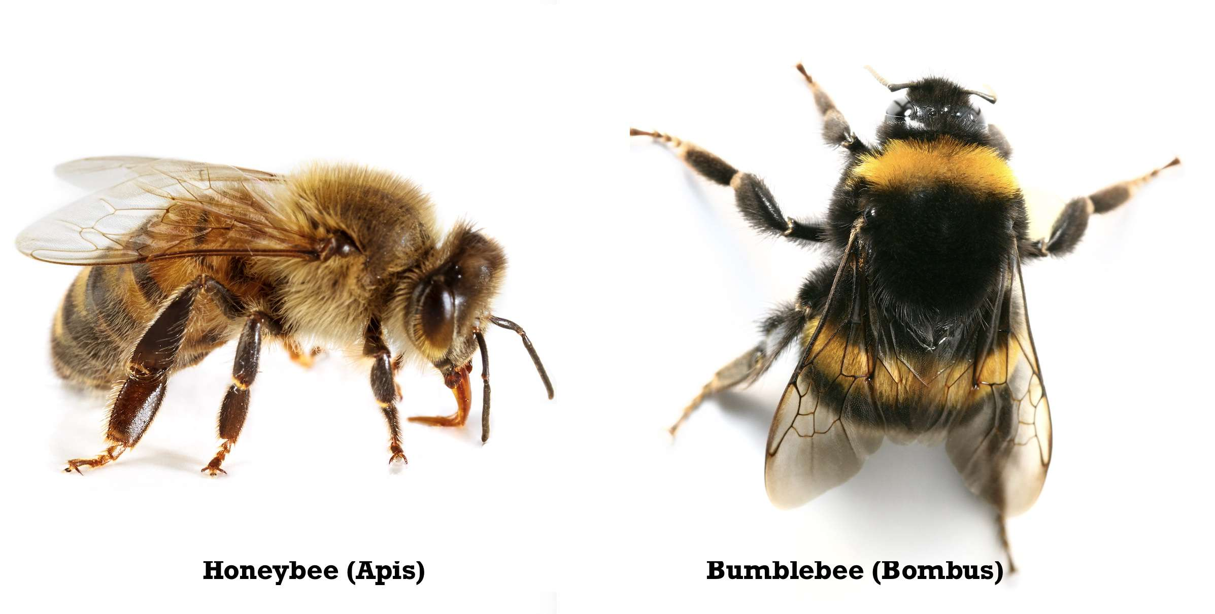 honeybee vs bumblebee