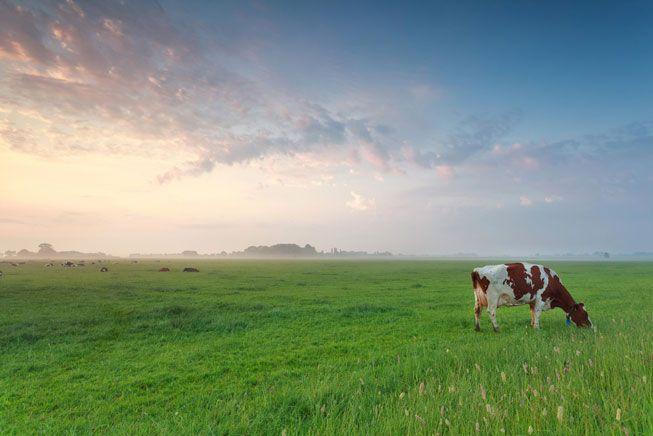Las vacas están probando los Fitbits del futuro