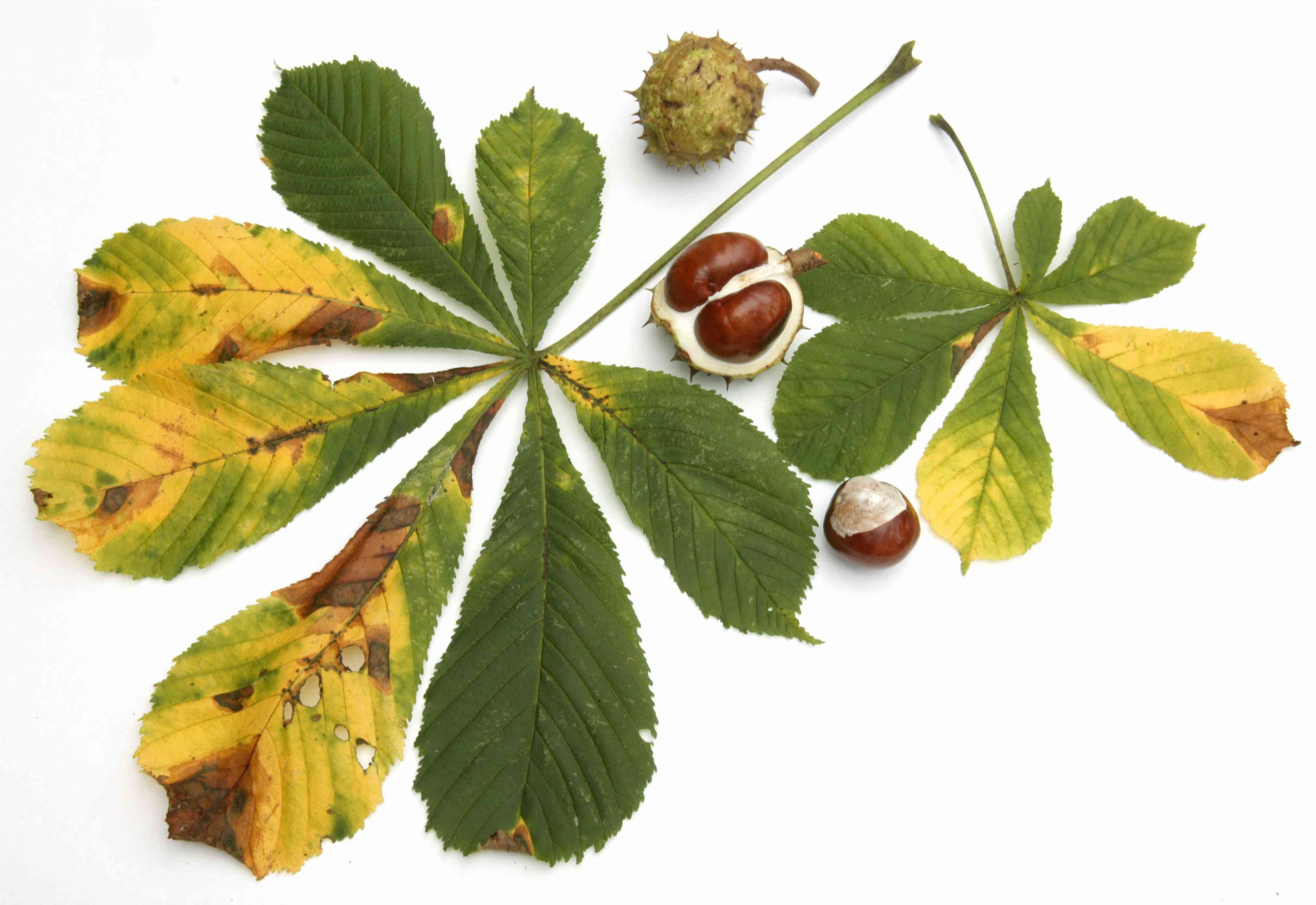 A yellowing horse chestnut tree with nuts on white background.