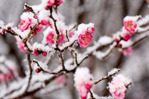 Bright pink flowers of a Japanese apricot tree covered in icy snow