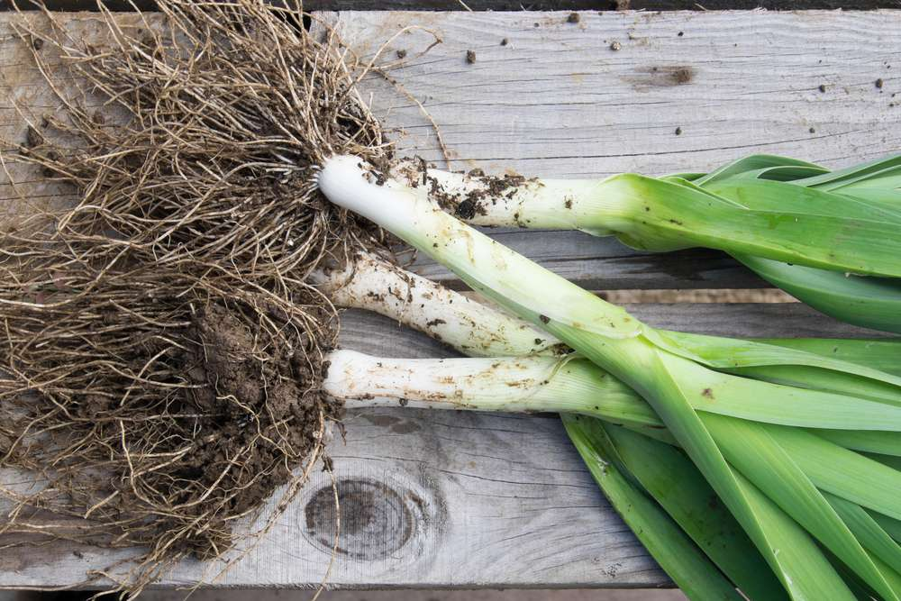 overhead shot of four leeks with roots attached o a brown picnic table