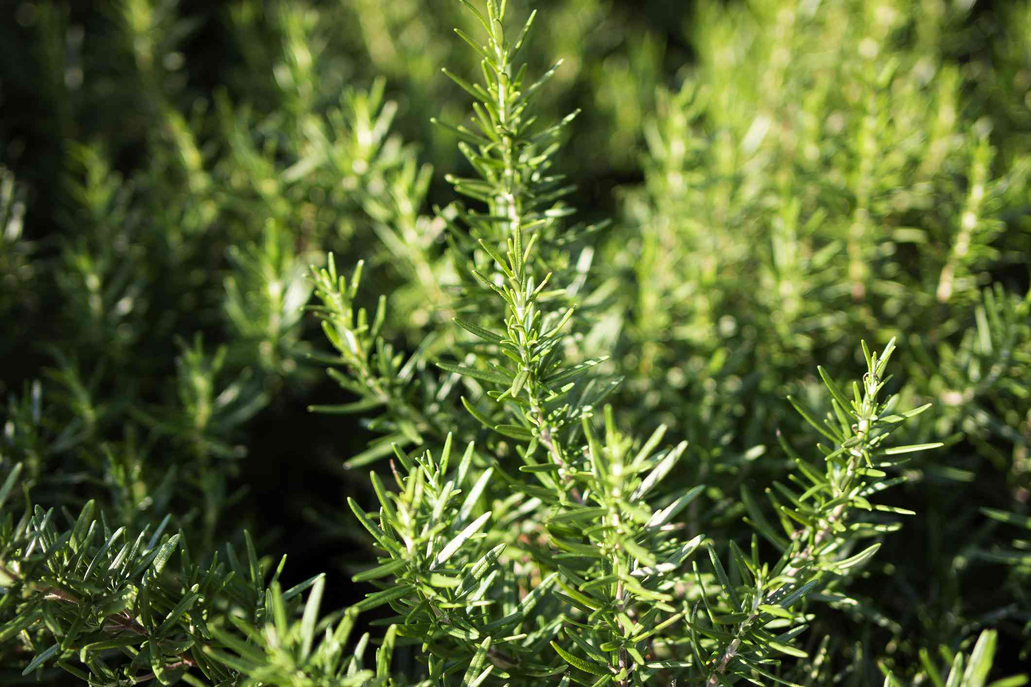 Rosemary plants covering the ground