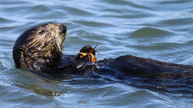 A sea otter munches on a crab in the Elkhorn Slough