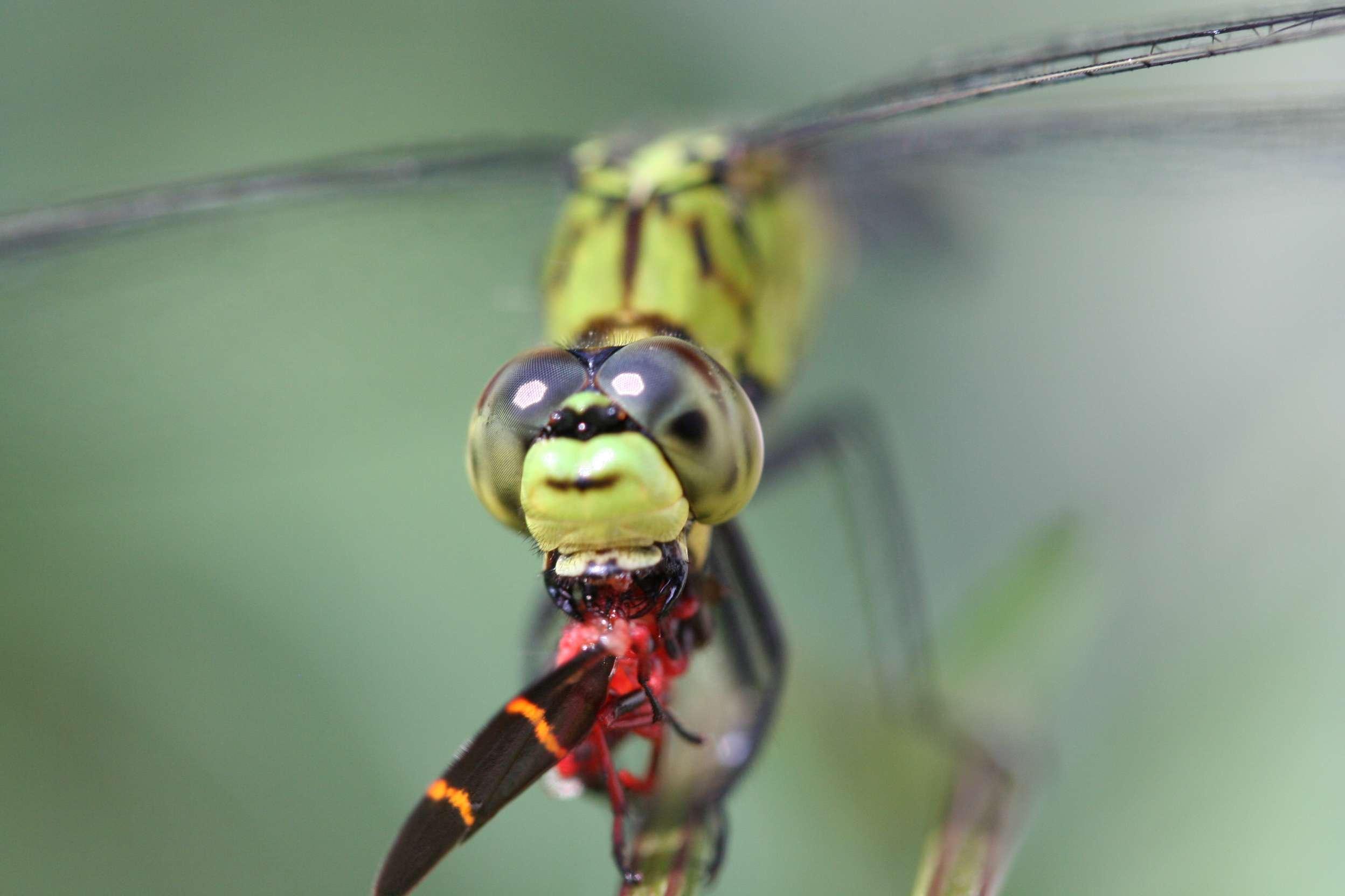 dragonfly eating a spittlebug, aka froghopper