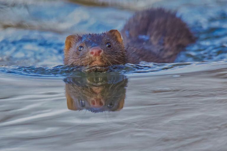 A swimming mink with its head out of the water