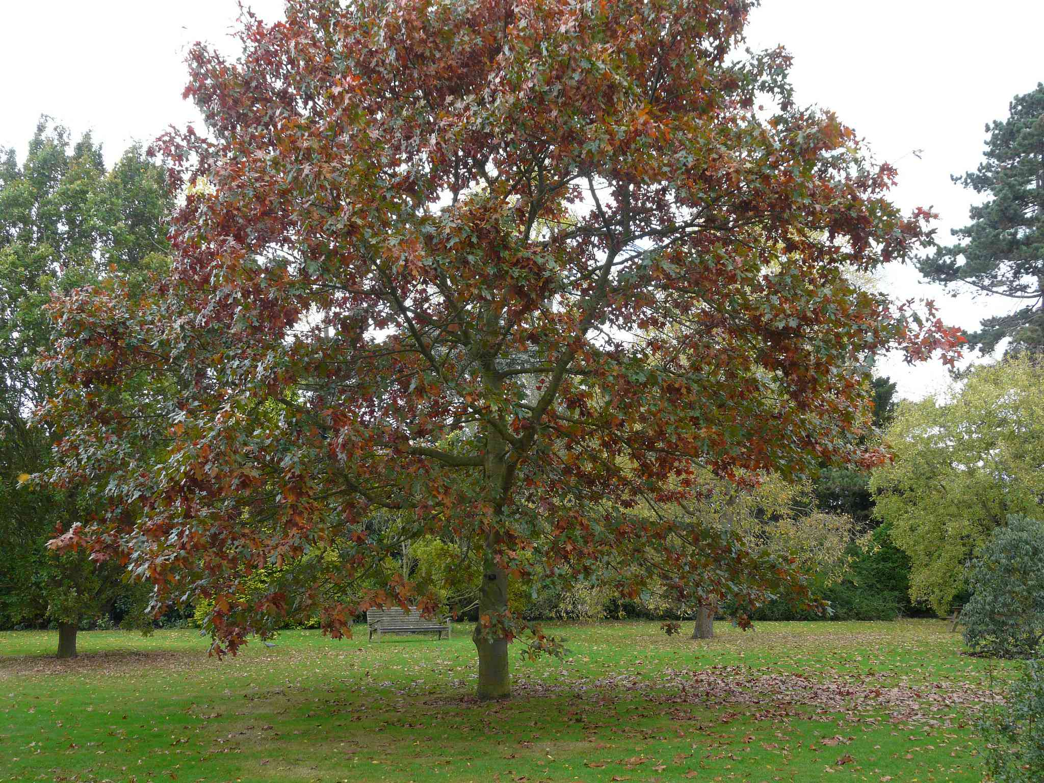 Structure of a Pin Oak tree with leaves turning red and falling off.