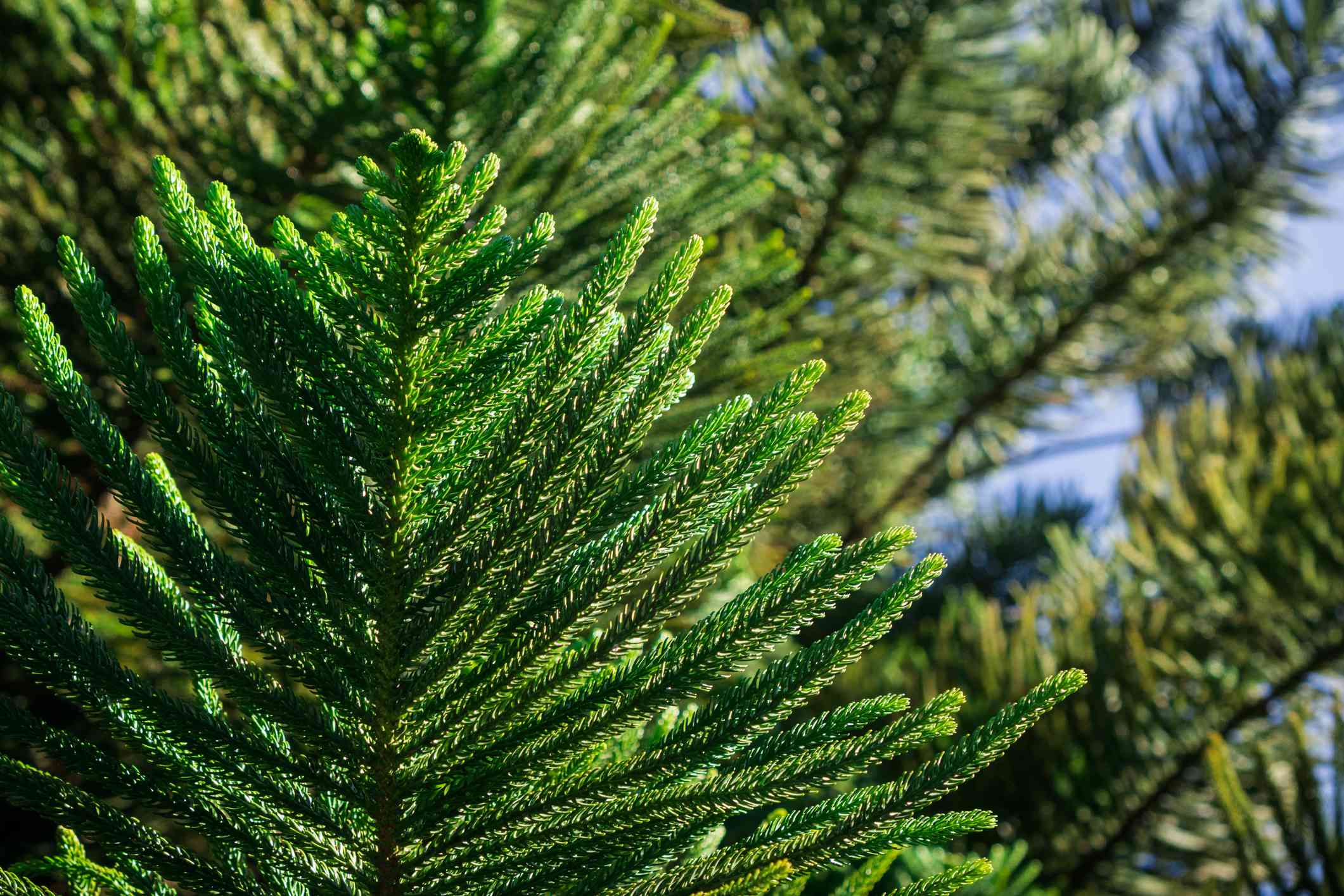 Branches of Norfolk Island Pine tree.