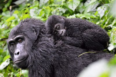 A baby mountain gorilla in Bwindi Impenetrable Forest, Uganda, clings to its mother amid the dense vegetation.