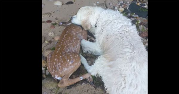 Dog after saving fawn