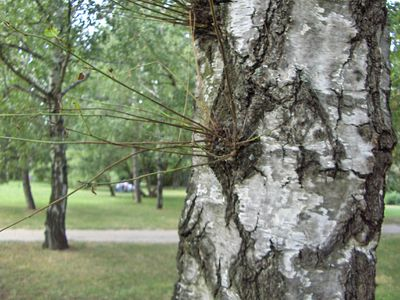Image of a tree with watersprouts