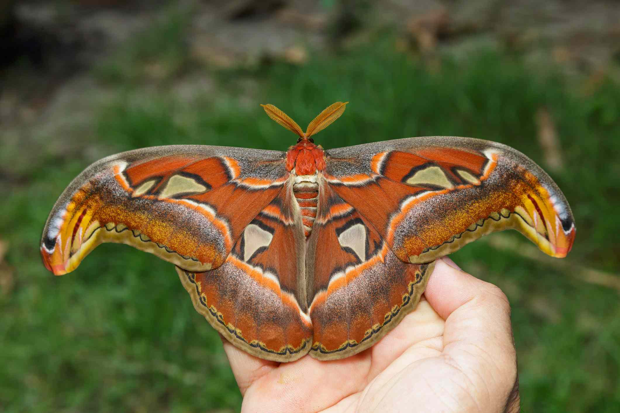 Female atlas moth on a human hand to demonstrate size