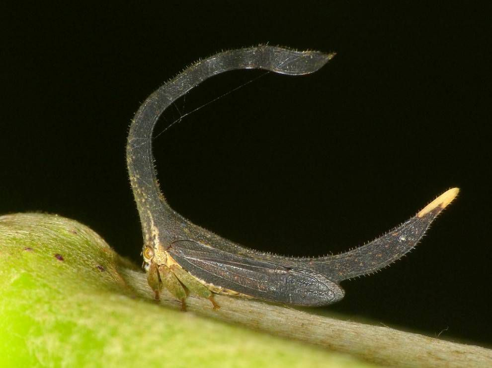 A treehopper with an elaborate thorny head