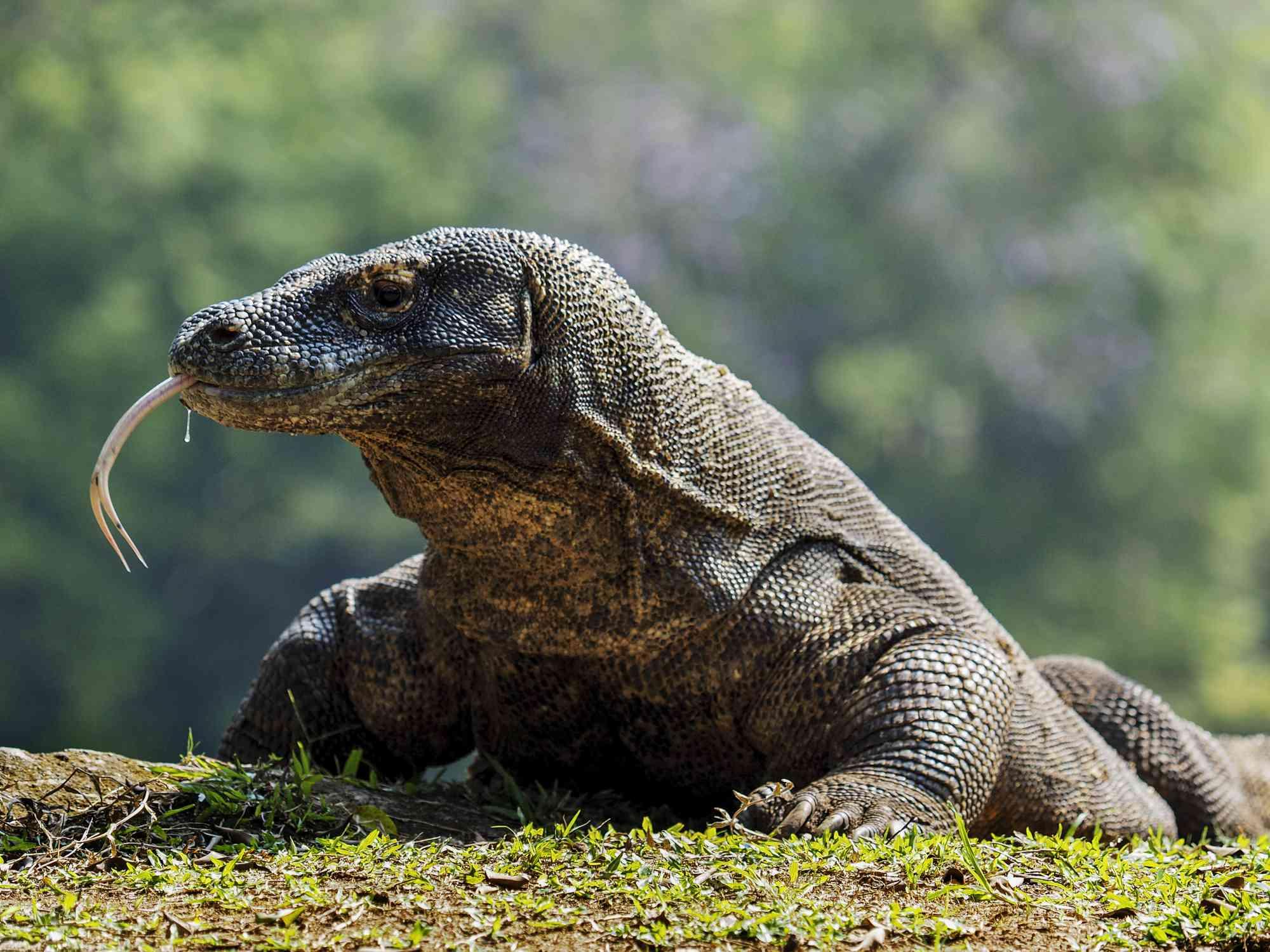 Komodo dragon in Jakarta, Indonesia