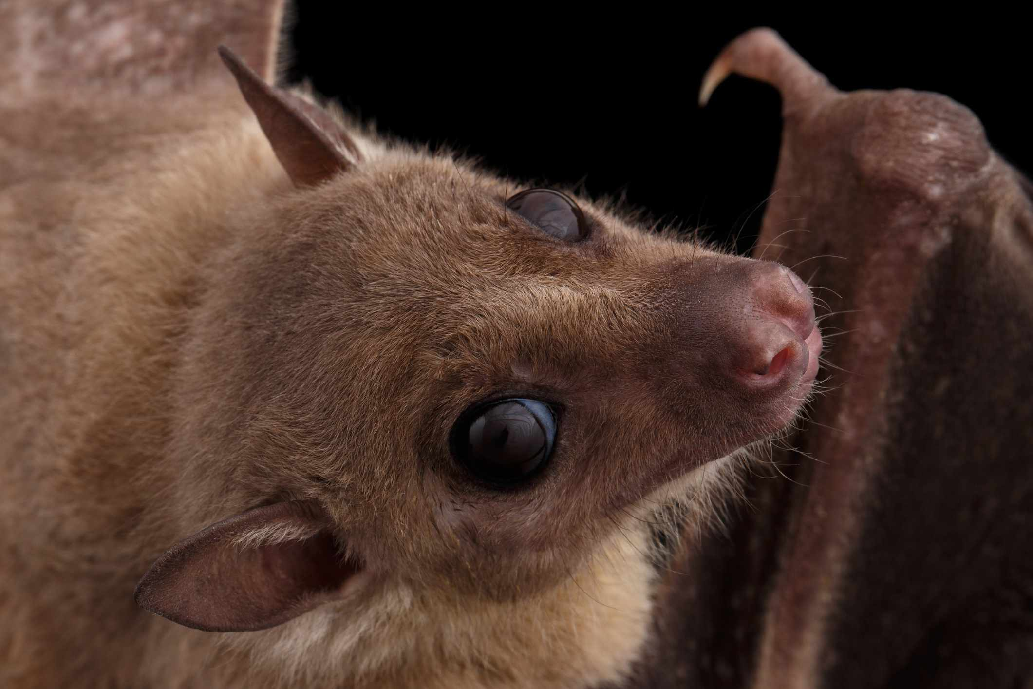 A furry brown bat looks into the camera