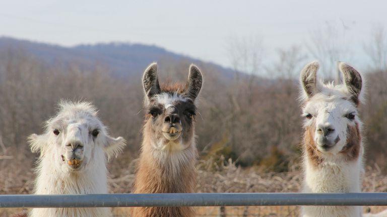 three llamas at a fence