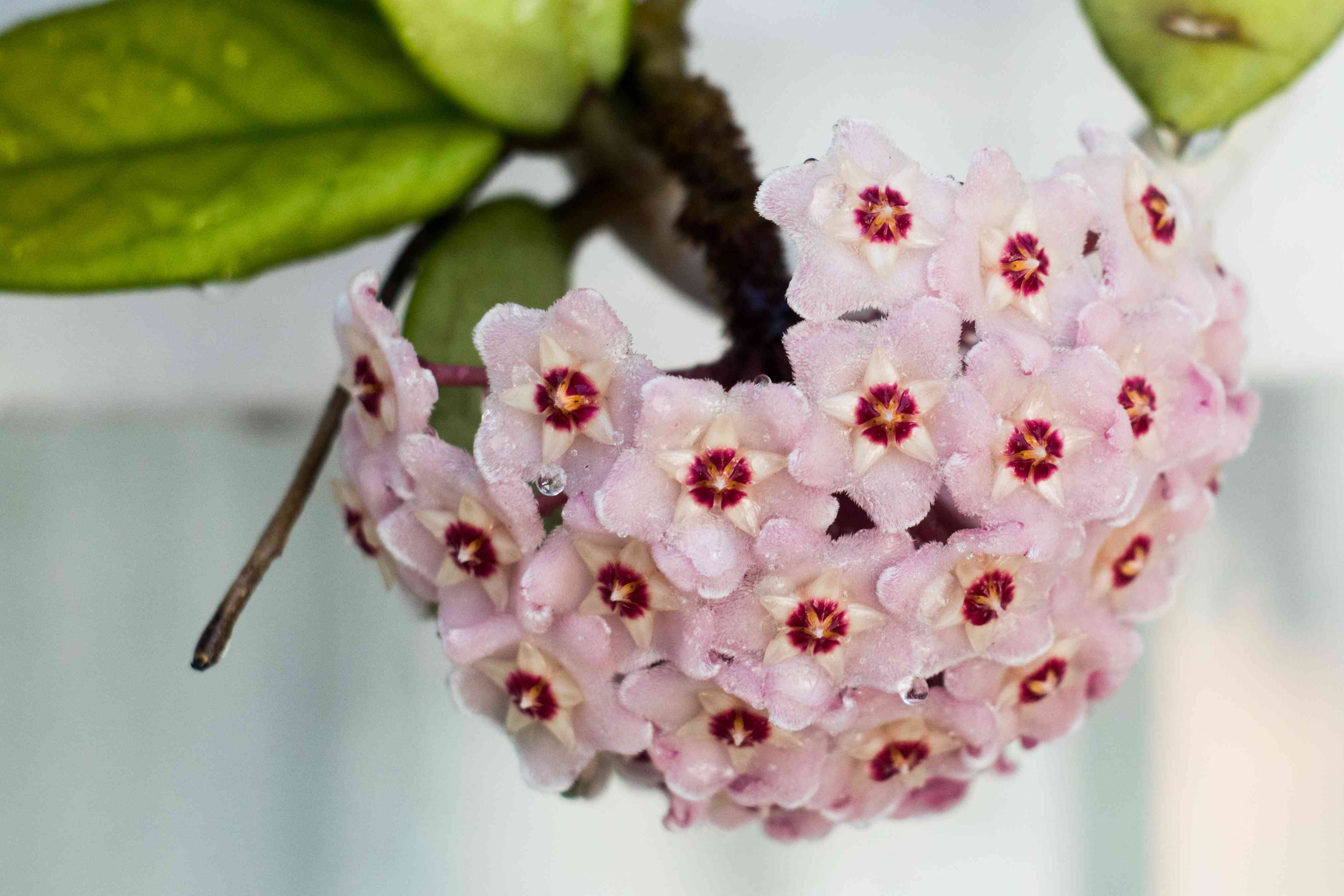 Hoya Carnosa or Waxplant Flower