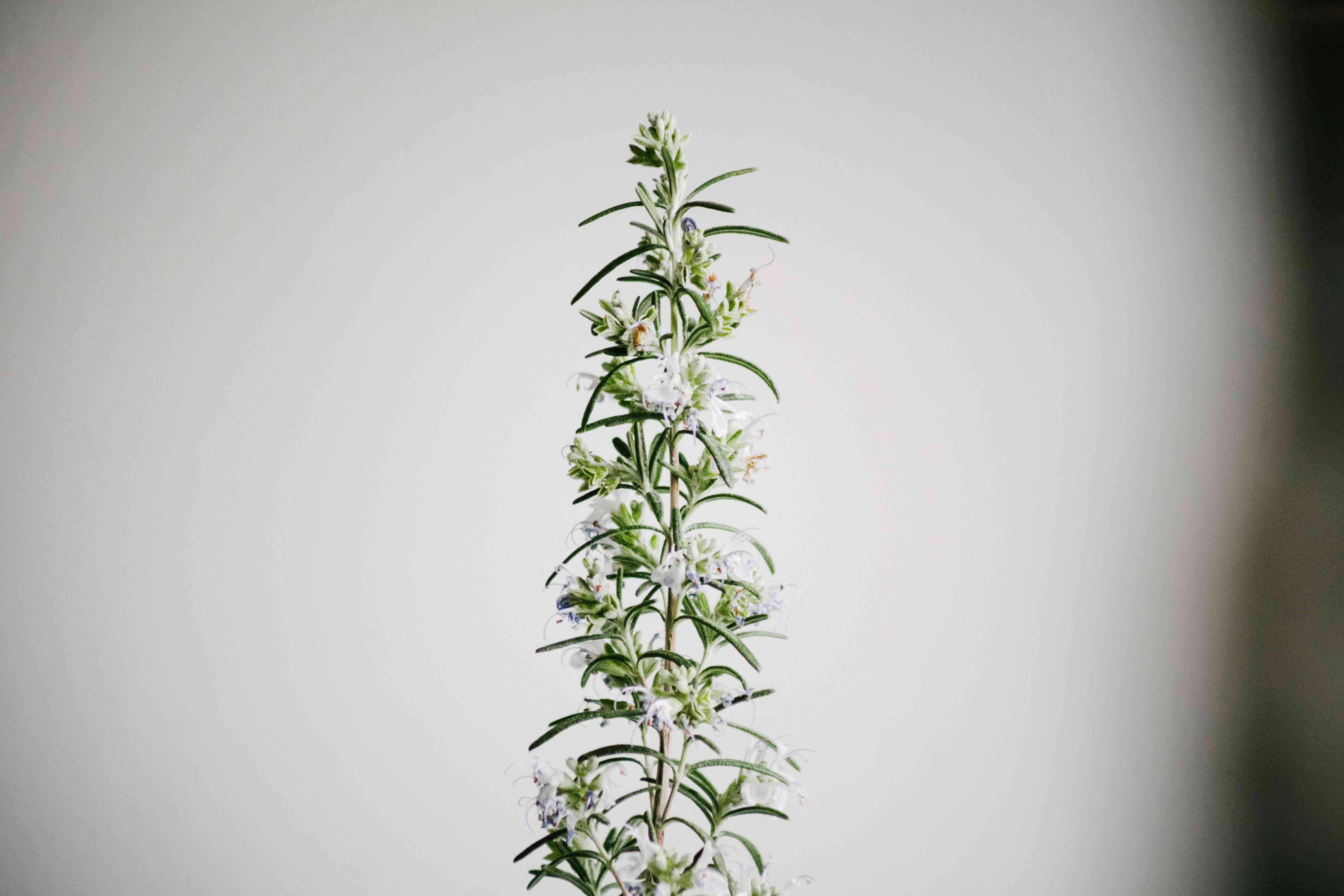 single stalk of rosemary herb with small flowering white blossoms in vignette