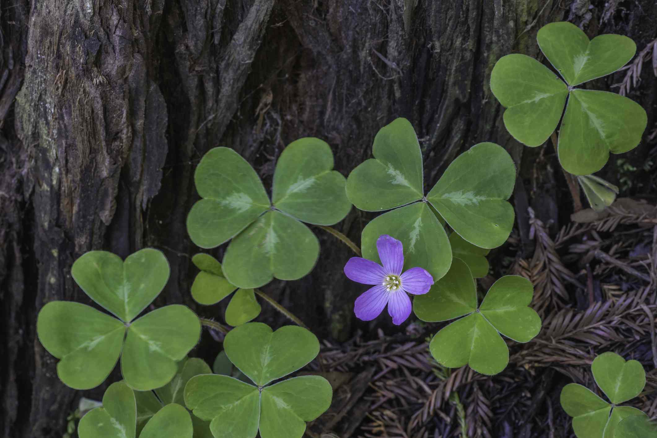 Redwood sorrel with one flour growing at the base of a tree