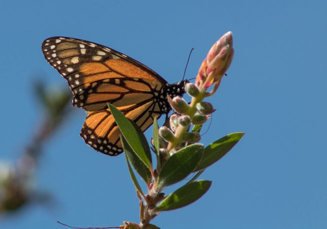 A migrating monarch butterfly perches on a plant branch