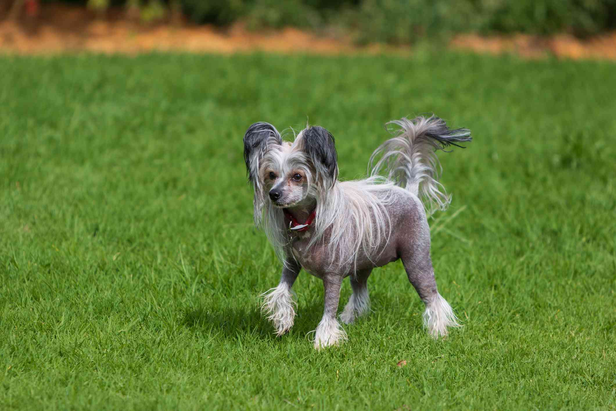 Chinese Crested Dog having fun at the dog park