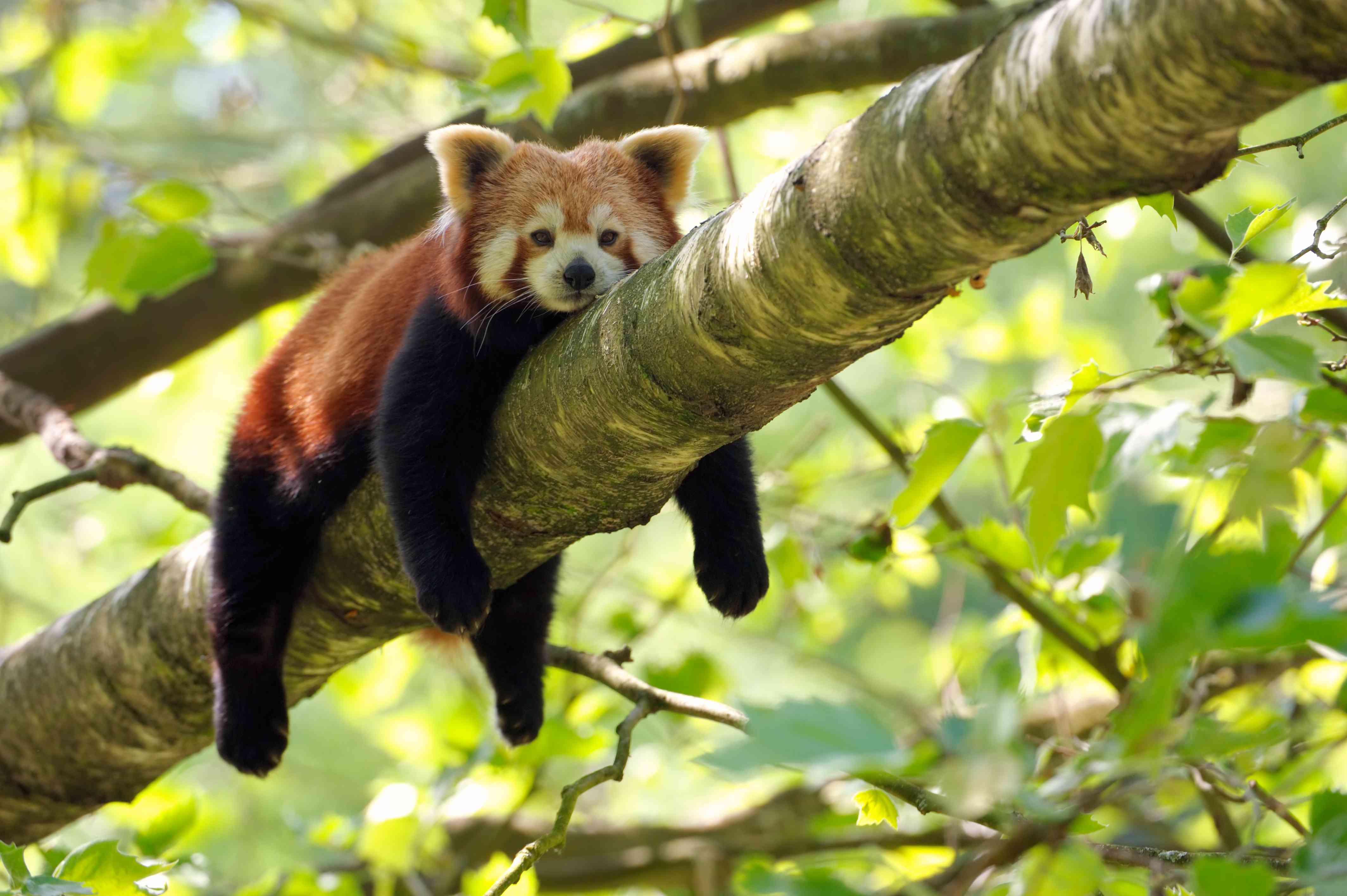 Red panda relaxes on tree branch with limbs hanging