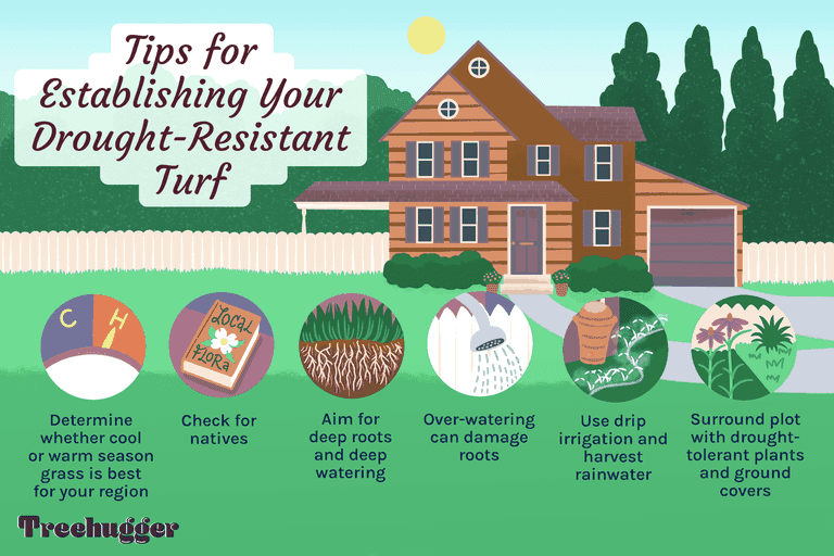 tips for establishing a drought-resistant turf lawn illustration