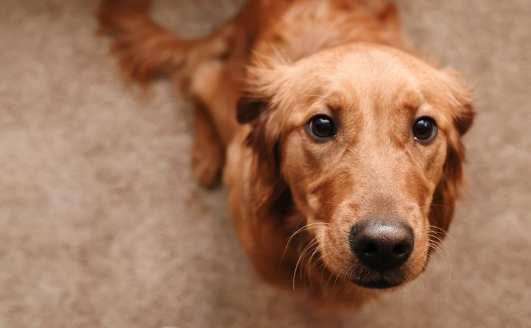 a brown dog looking up expectantly
