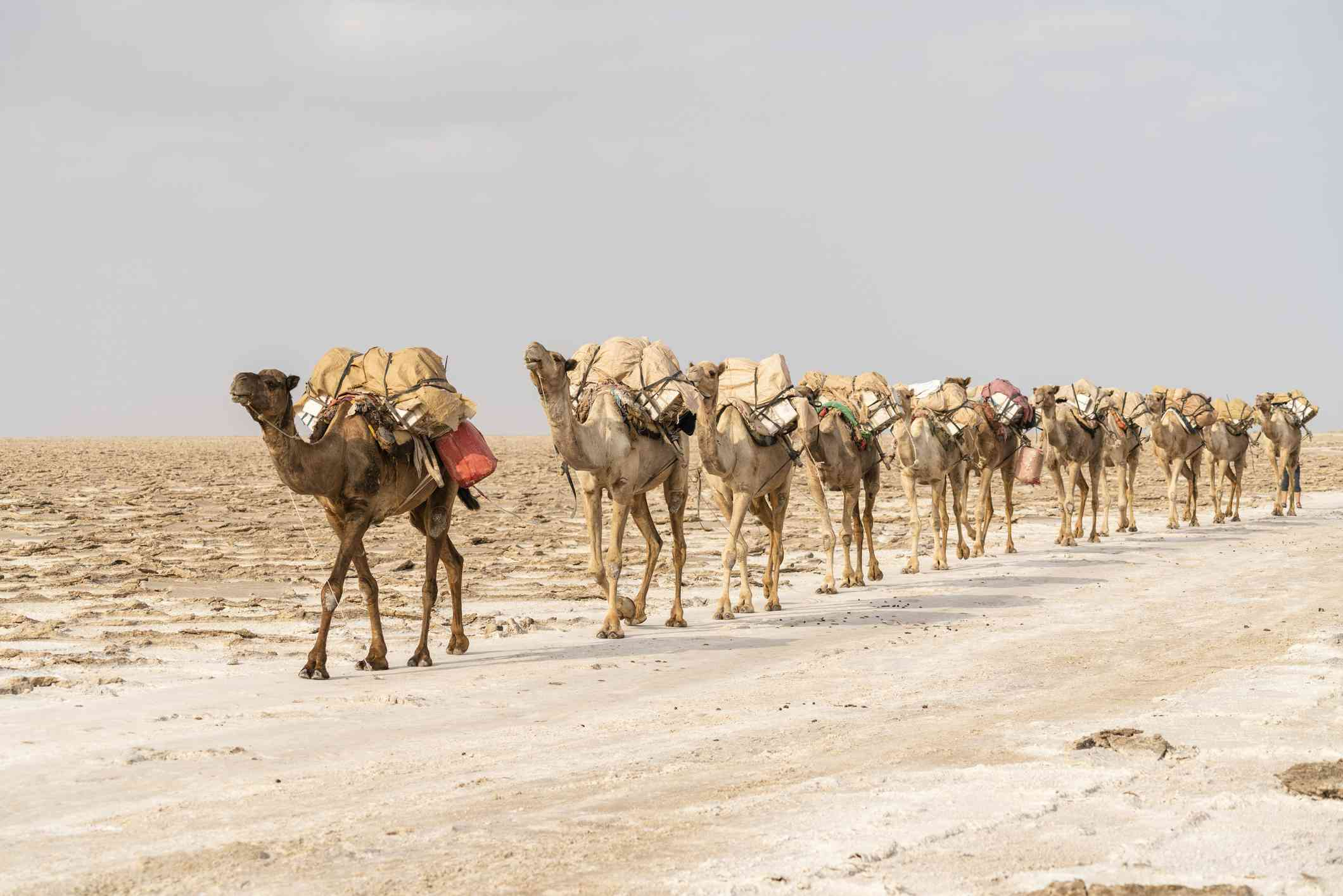 caravan of camels carrying materials on their backs across the desert