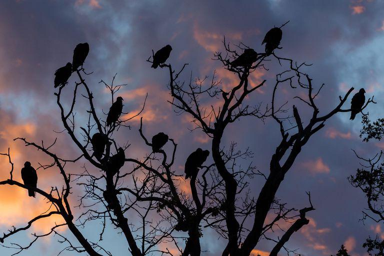 Foto: Buitres de Turquía se reúnen para el amanecer