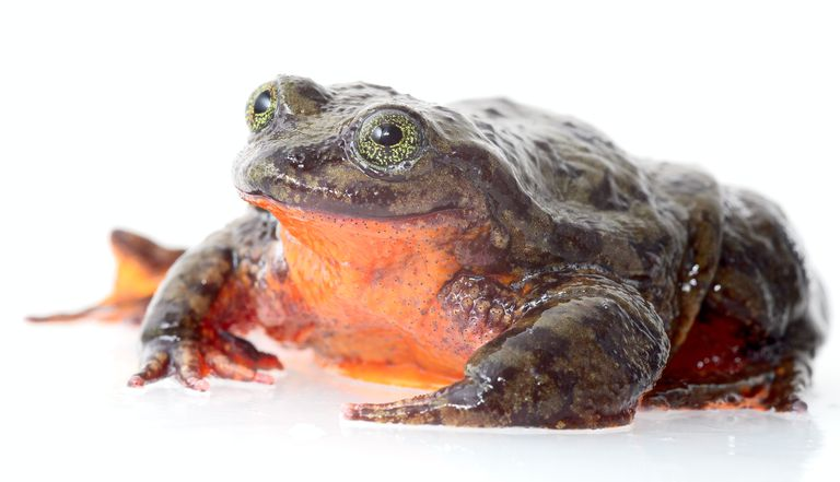 Romeo, Sehuencas water frog, only known individual of his species