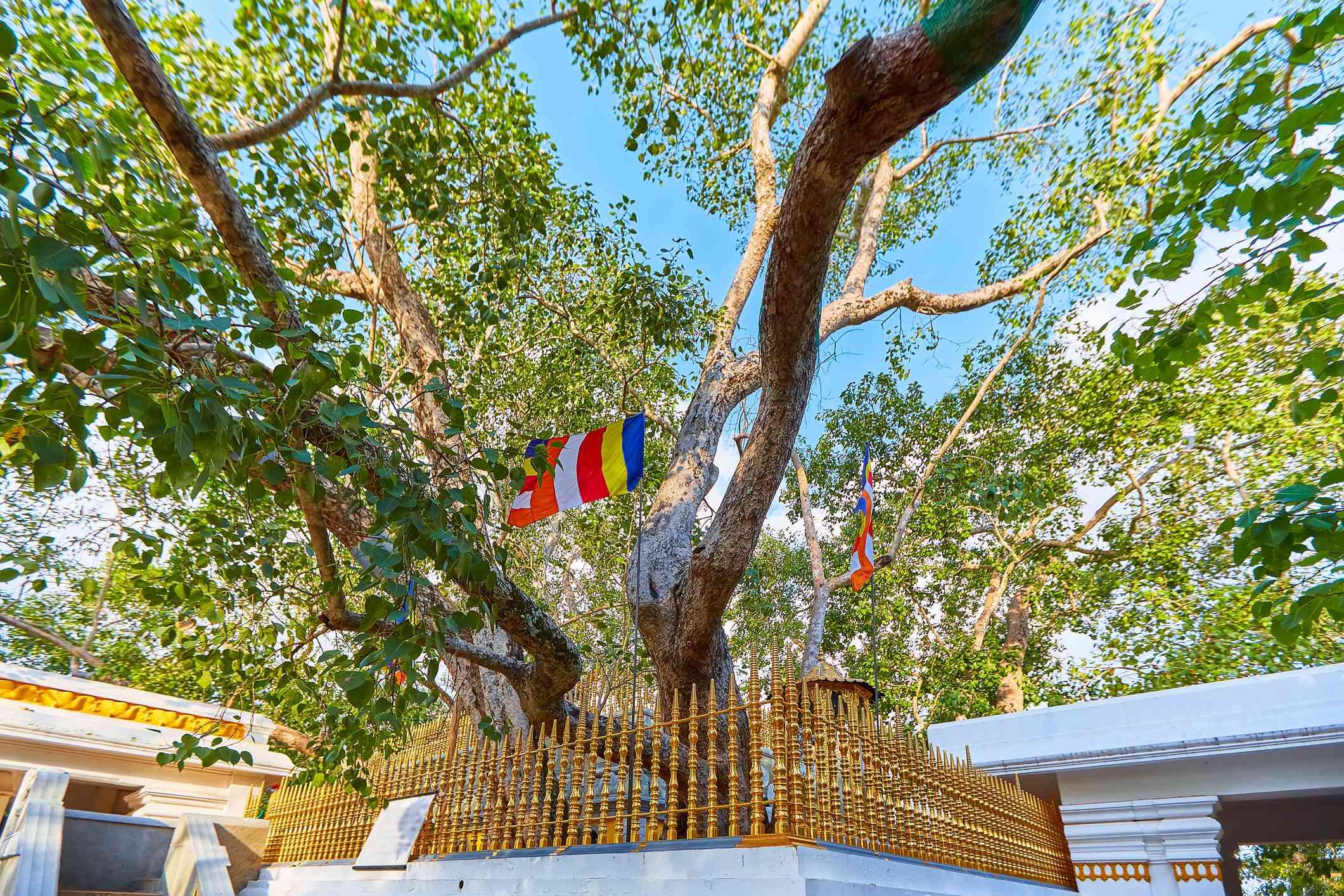 Jaya Sri Maha Bodhi sacred fig tree in the Mahamewna Gardens, Anuradhapura