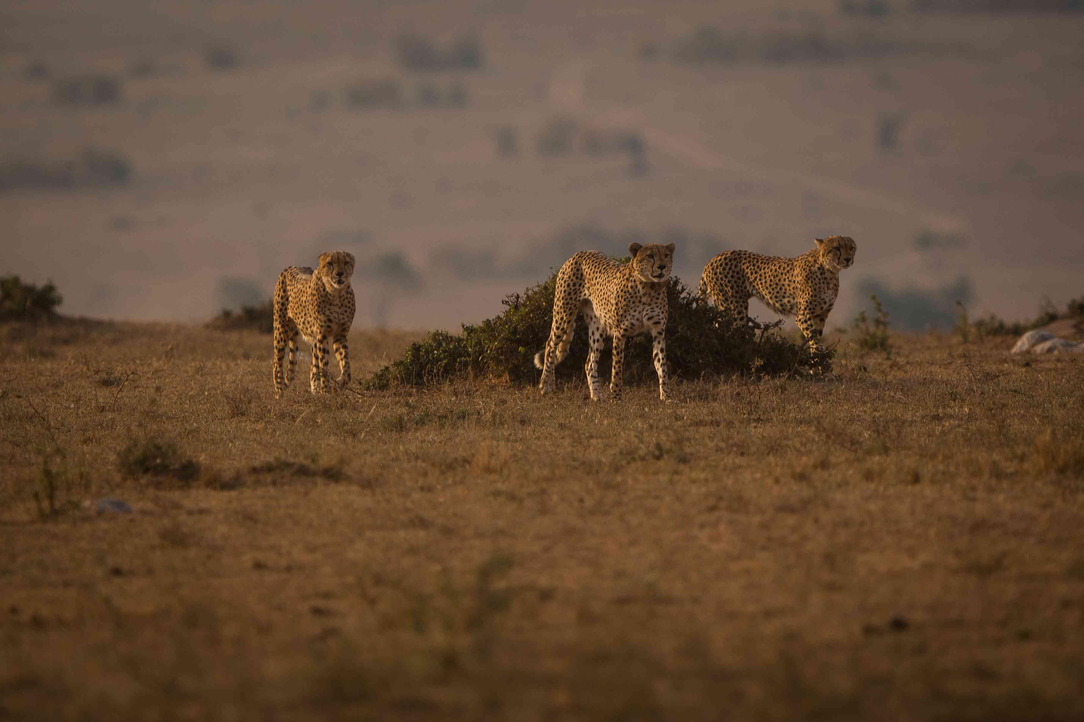 male cheetah siblings