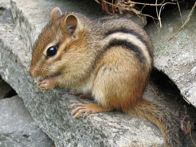 eastern chipmunk sitting on rocks