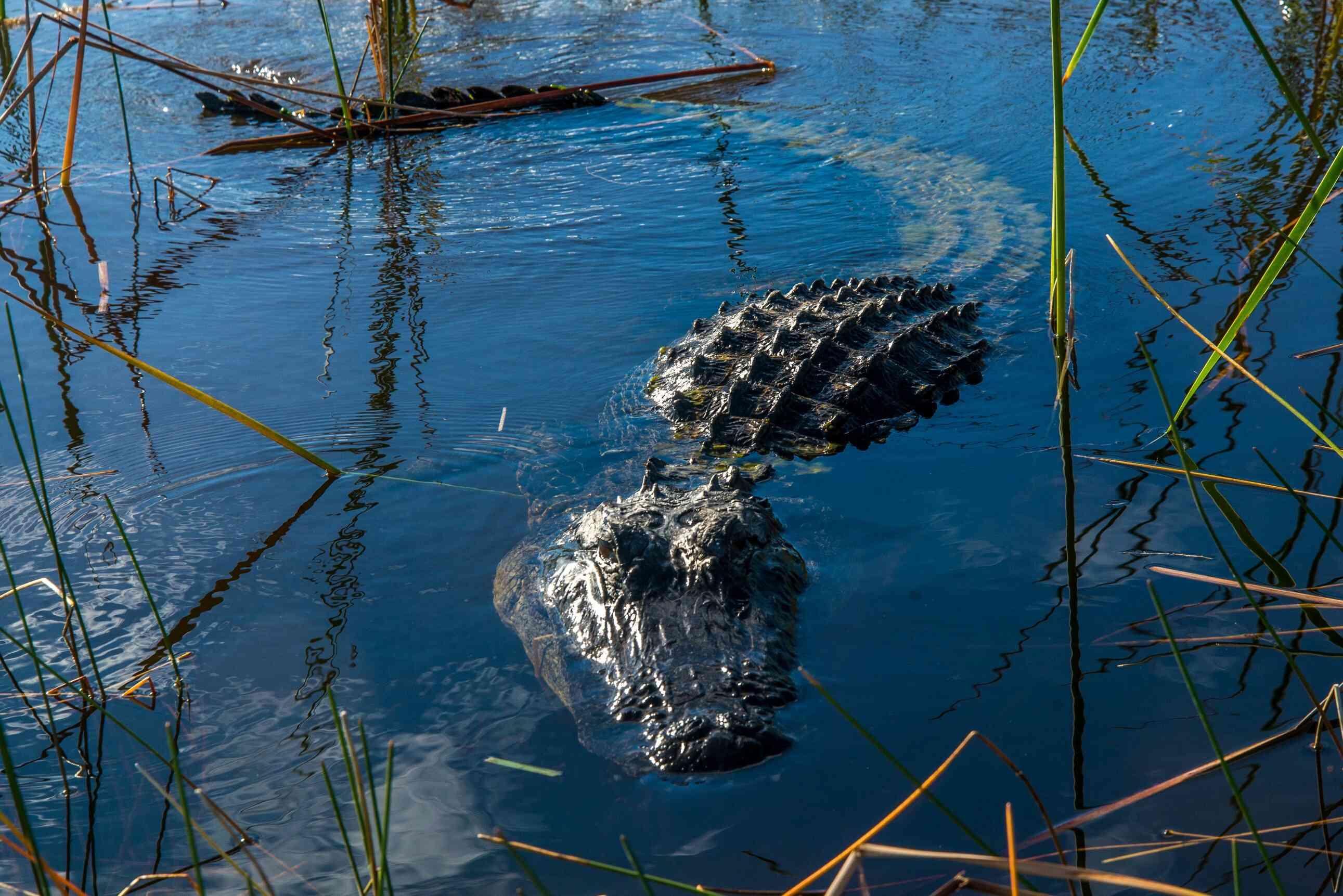 Swimming alligator in grassy swamp area