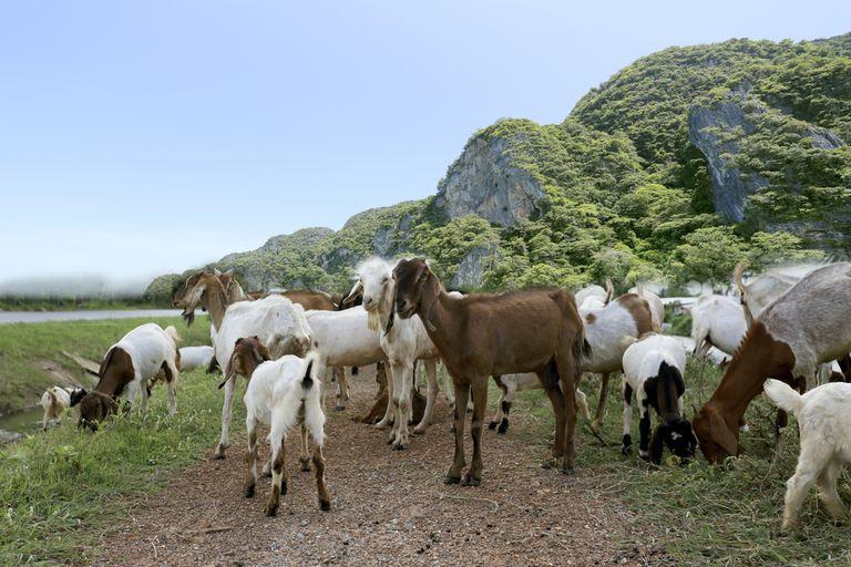 ¿Cuál es el problema con la jardinería de cabras?