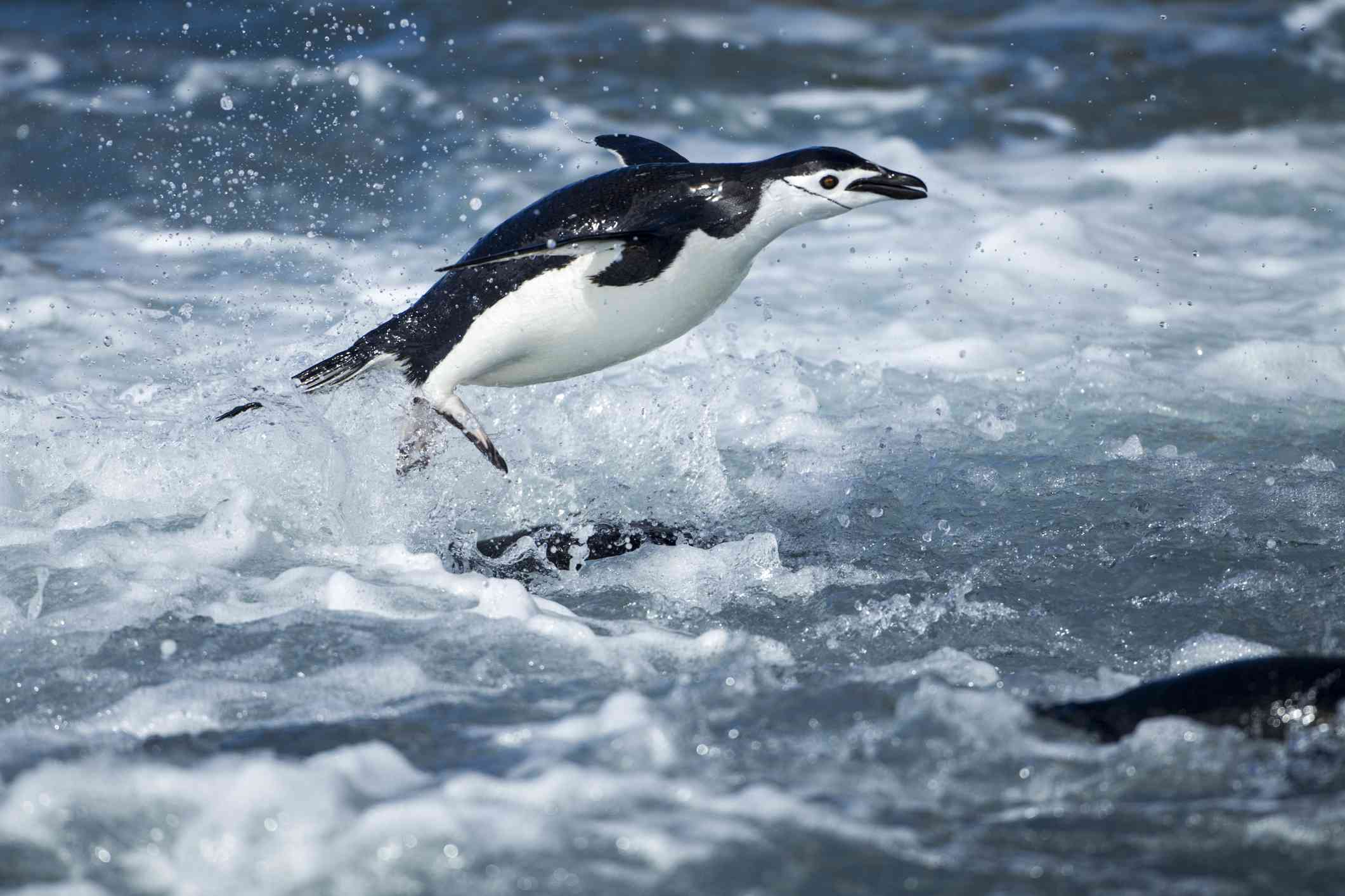 Chinstrap penguin jumping out of water in Antarctica.