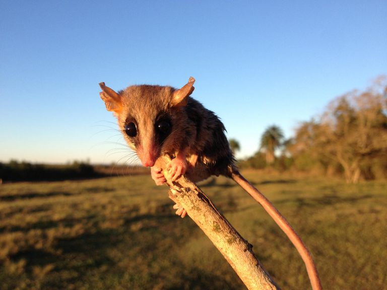 A mouse opossum from a deforested area of the Atlantic Forest, eastern Paraguay.
